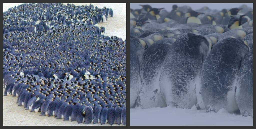 how the penguin s huddle affects their 1 since always, penguins have posed a huge issue for taxonomists no one could say which group of living birds was closest to the penguins, because of their peculiar traits like the wing turned into a flipper and their oddly shaped feathers, which are uniform and resemble small stiff scales.