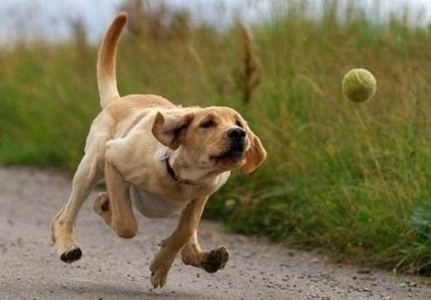 "Dogs associate the word ""ball"" with its size and texture, than its shape."