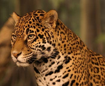 The jaguar is one of eight species that Brazilian scientists will attempt to clone.