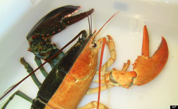 "This image released by the New England Aquarium shows a one-pound female lobster, known as a ""split,"" that was caught by a Massachusetts fisherman last week and arrived at the aquarium in Boston Wednesday, Oct. 31, 2012. Officials say such rare Halloween coloration is estimated to occur once in every 50 million lobsters. (AP Photo/New England Aquarium, Emily Bauernseind)"