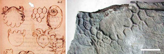 Among his many other passions, Leonardo da Vinci collected and described fossils, including it seems, what later came to be known as Paleodictyon [from BIBLIOTECA LEONARDIANA, via Nature]