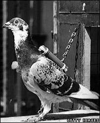 A carrier pigeon, with a cylinder attached.