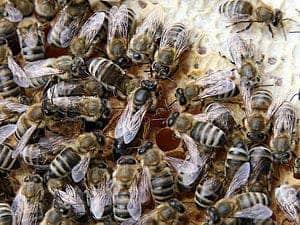 queenbees-honeybees