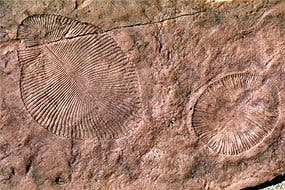 One of the fossils in question - Dickinsonia. Currently, scientists are positive this was a sea-dwelling invertebrate, but recent findings suggest it may actually have been a land-dwelling lichen. (c) Greg Retallack