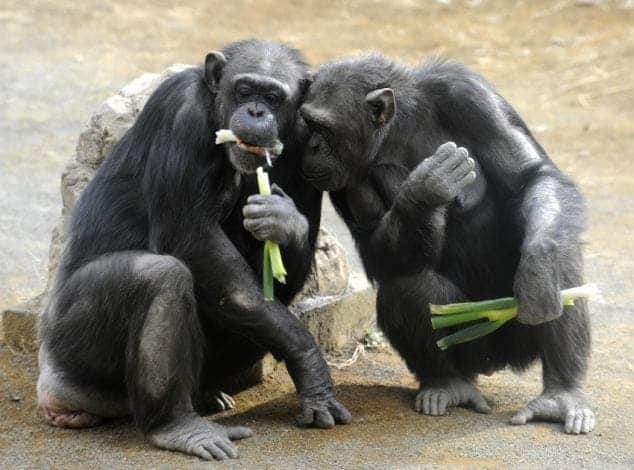 Chimpanzees munch on leek at Tokyo's Tam