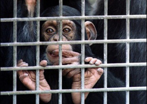 chimps-lab-research