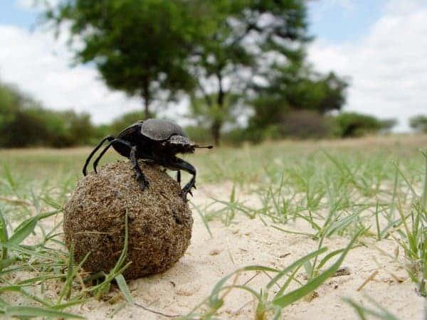 dung beetle2