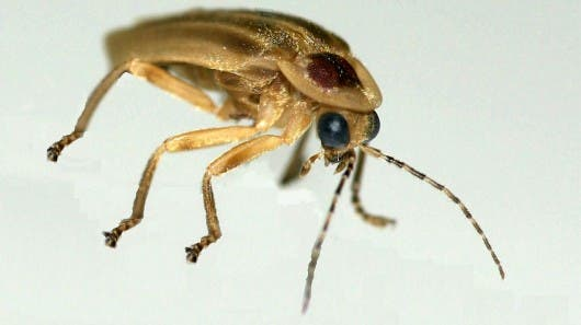 A firefly specimen from the genus Photuris, which is commonly found in Latin America and the United States and served as the inspiration for the effective new LED coating. Credit: Optics Express.