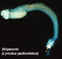ship-worm