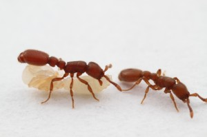 The queenless parthenogenetic ant Cerapachys biroi (subfamily Cerapachyinae) shows army ant-like behavior and is one of the main study systems in our group. The species is a native of Asia and has been introduced globally on tropical and subtropical islands.