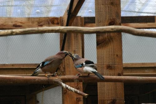 This is a Eurasian Jay mated pair engaged in food-sharing. Credit: Ljerka Ostojic