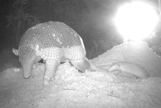 giant armadillo baby