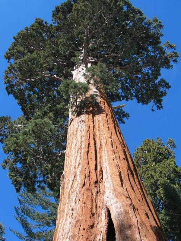 The tallest tree in the world, called Hyperion, has a height of 115.11m and is located in Redwood, California.
