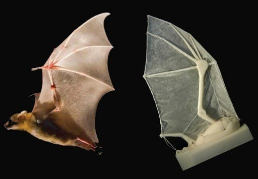 A robotic bat wing lets researchers measure forces, joint movements, and flight parameters, and learn more about how the real thing operates in nature (credit: Breuer and Swartz labs/Brown University)
