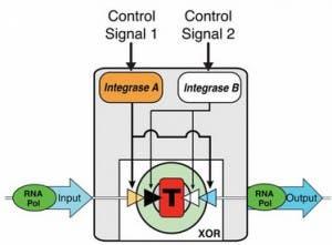 XOR-gate-made-out-of-transcriptor-biological-transistor-300x221