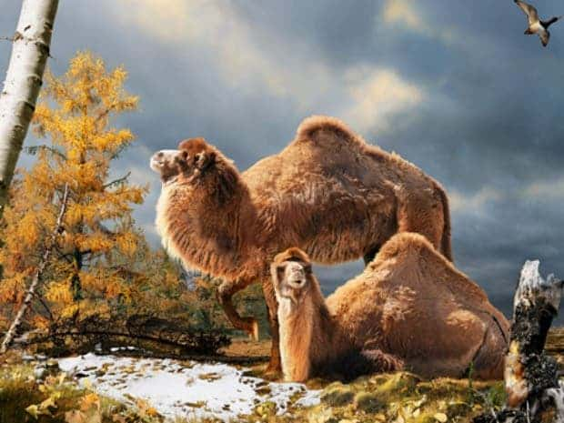Illustration of the High Arctic camel on Ellesmere Island during the Pliocene warm period, about three and a half million years ago. (c) Julius Csotonyi/Canadian Museum of Nature