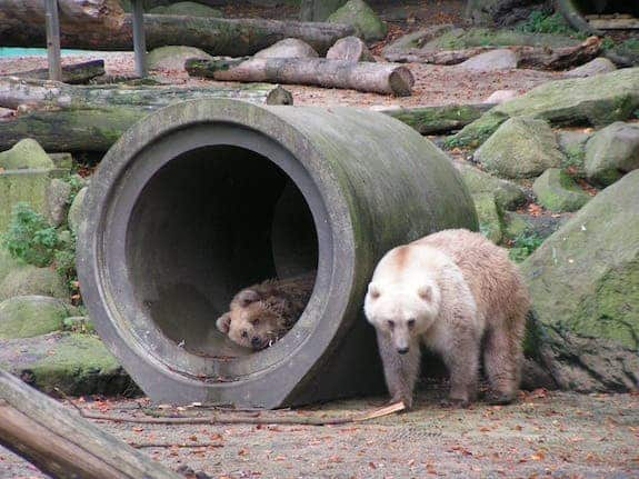 Brown-polar-bear hybrids at Germany's Osnabrück Zoo. (c) Corradox/Wikimedia Commons
