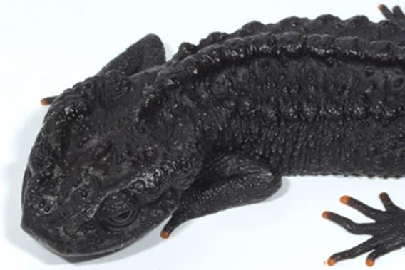 crocodile newt 3