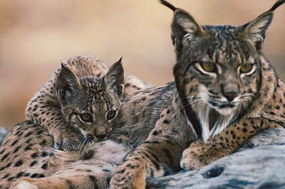 Iberian lynx mother and cub.