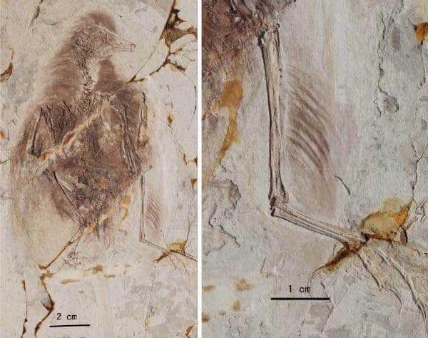 Images of fossils belonging to the enantiornithine genus. Feathers on the primitive bird's hind legs provide evidence of an extra pair of wings. (c) Xiaoting Zheng et al/Science