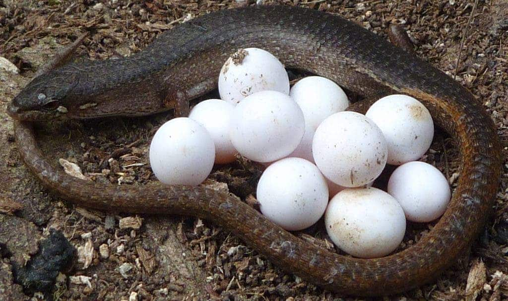 Reptiles That Lay Eggs Lizards have survival ...