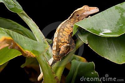 gecko-leaf