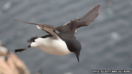 Murres are well adapted to diving but when it comes to flying their wings are some of the most energetically inefficient. The birds are close relatives to penguins, and with their black and white feathering, they even resemble penguins. (c) KYLE H. ELLIOTT