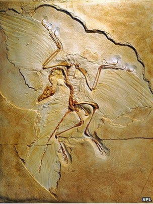 The first Archaeopteryx fossil found.