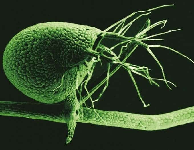 A scanning electron micrograph shows the bladder of Utricularia gibba, the humped bladderwort plant (color added). (Photo : Enrique Ibarra-Laclette, Claudia Anahí Pérez-Torres and Paulina Lozano-Sotomayor)