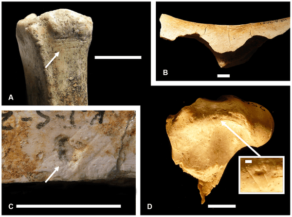 (A) KJS 7472, a small bovid metatarsal from KS-2 bearing cut marks; (B) KJS 7379, a medium-sized bovid humerus from KS3 bearing pair of hammerstone notches, the specimen is also cut-marked (not figured); (C) KJS 5447, a mammal limb bone shaft fragment from KS-2 with percussion pit and striae, the specimen is also cut-marked (not figured); (D) KJS 2565, a small bovid femur from KS-2 with numerous cut marks. Scale is 1 cm in panels (A-D); 1 mm in the panel (D) close-up. Specimen numbers are field designations, not KNM accession numbers.