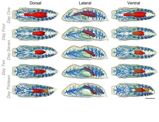 Internal anatomy of V. cardui as it develops within the chrysalis. The tracheal system is blue, the midgut is red, the air lumen is green, and the Malpighian tubules (part of the excretory system) are orange. (c) Lowe et al