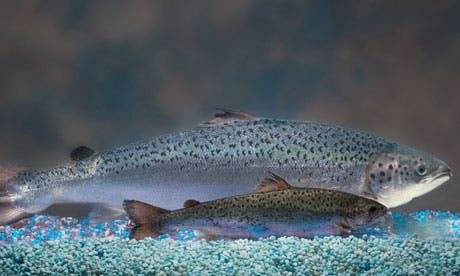 Two same-age salmon, a GM salmon, rear, and a non-GM salmon, foreground. Photograph: Anonymous/AP