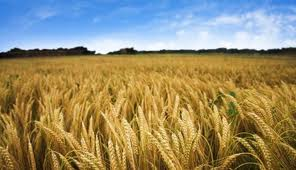 wheat-crop