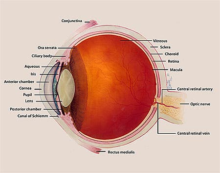 Rewriting the anatomy books - new layer of human cornea discovered