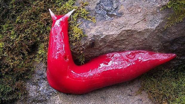 ping slugs australia