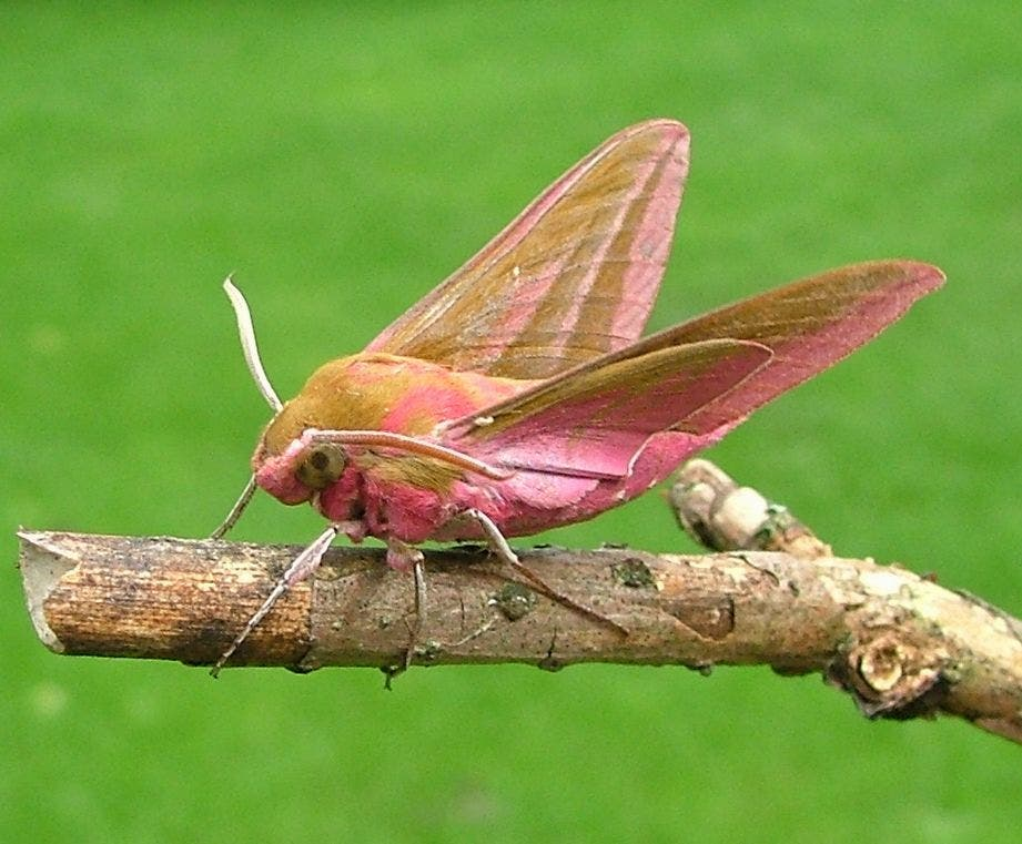 Hawk moth. Picture source.