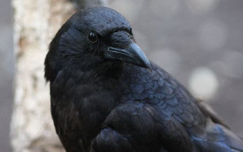 """"""" Whatcha' lookin' at, bub?"""" Crows know when humans are watching them."""