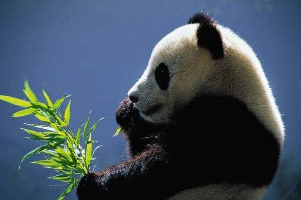 The same organisms that make pandas effective at digesting bamboo may help turn plant waste into biofuels, according to researchers. (c) Keren Su, Corbis