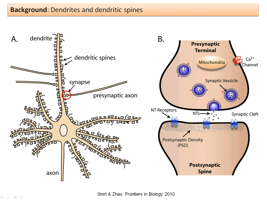 dendritic spine