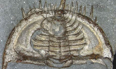 Specimen of the trilobite Mummaspis muralensis