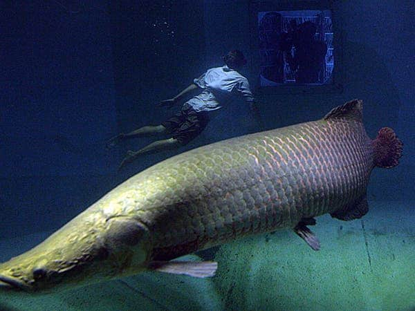 New arapaima species discovered in amazon a giant fish for Breath like a fish