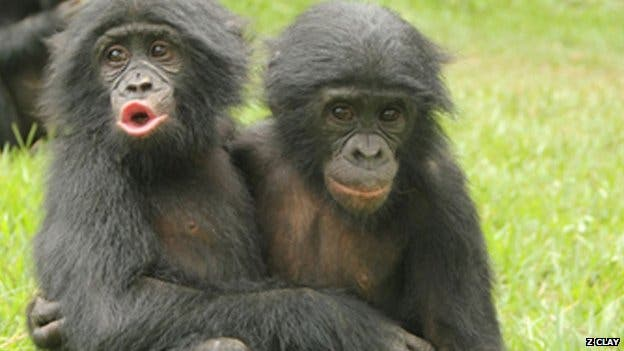 'Emotionally competent' bonobos were more likely to console other apes