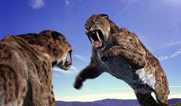 Not an accurate depiction of nimravid rivalty. Most likely, the beasts would perform sneak attacks on each other.