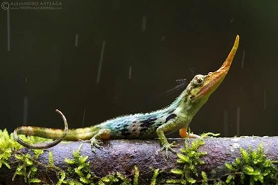 pinocchio-lizard