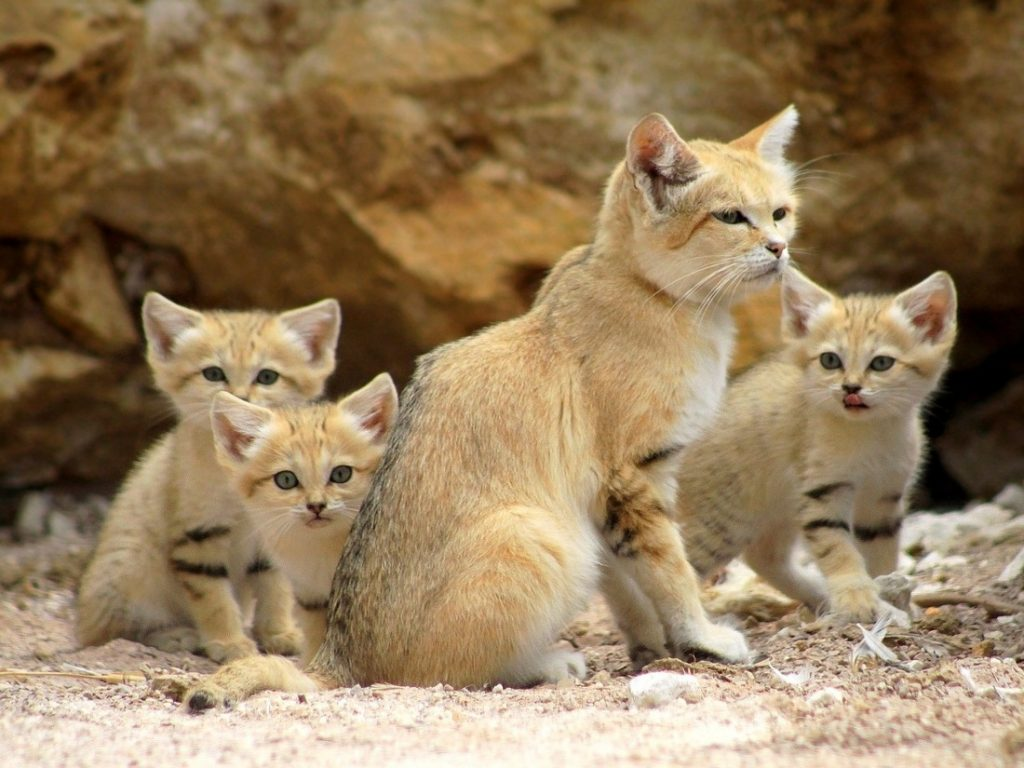 sand cat the amazing animal that doesn 39 t need to drink water. Black Bedroom Furniture Sets. Home Design Ideas