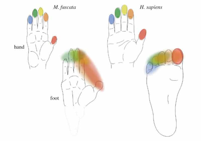Shape of the hand and foot in two primate species. The fingers are represented independently (colour coded) in the primate somatosensory cortex (SI). By contrast, the representations of the toes are fused, with the exception of the big toe in humans. (Credit: Image courtesy of RIKEN)
