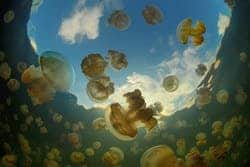 Jellyfish Cluster (Wikimedia Commons
