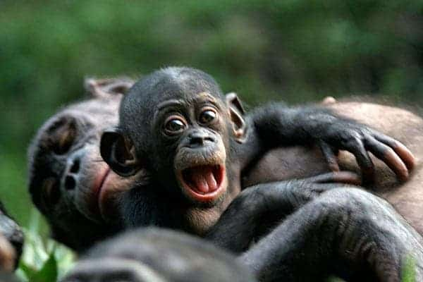 This undated handout photo provided by Friends of Bonobos shows mother and a baby bonobo in the Congo. (c) Vanessa Woods/Duke University/AP