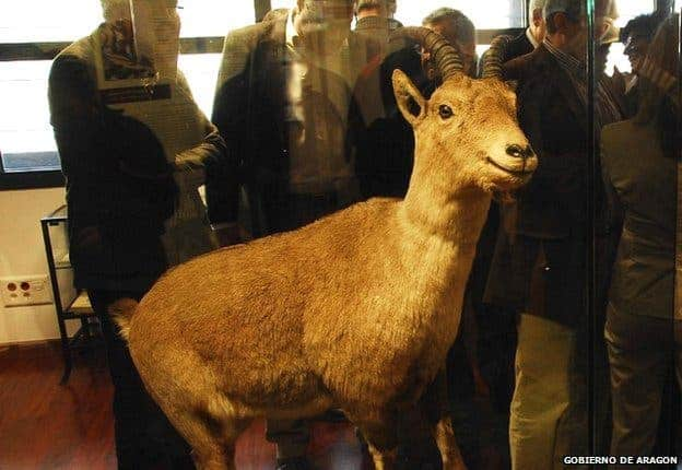The last bucardo living specimen, Celia, died in 2000. She can now be seen at the reception centre of the National Park of Ordesa and Monte Perdido in Aragon.
