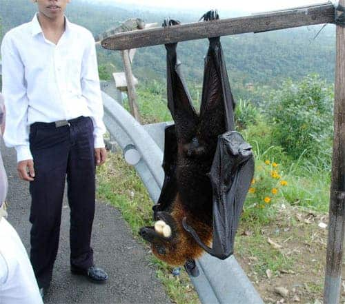 flying fox - giant bat
